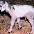 Sheep_goat_chimera